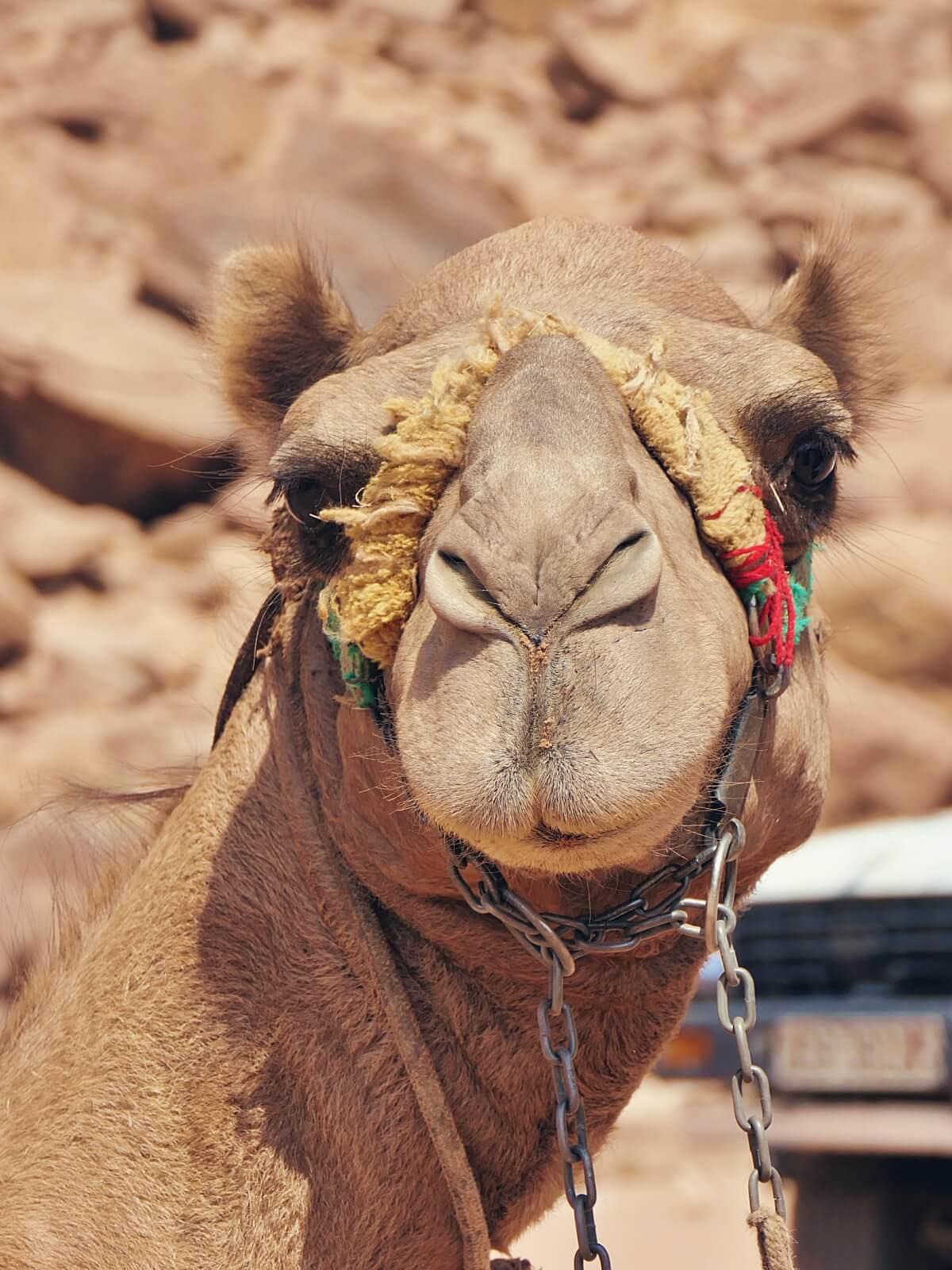 Uśmiechnięty wielbłąd.