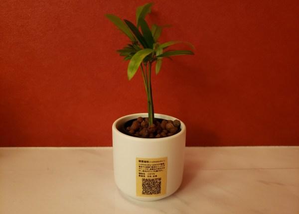 「インテリアグリーン」無印良品で観葉植物を買ってみた「イヌマキ」
