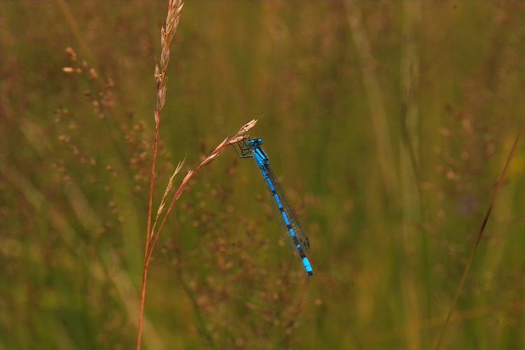 Синьото насекомо
