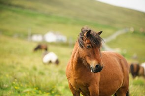Was wären die Shetlands ohne Shetlandponies?