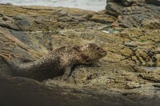 Neben all den Vögeln gab es auch reichlich andere Tiere - hier ein Seehund.