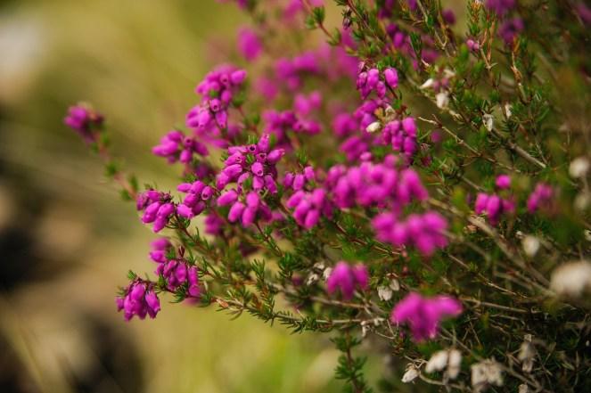Dank des Sommers blühten Pflanzen aller Art. Hier: Glocken-Heide