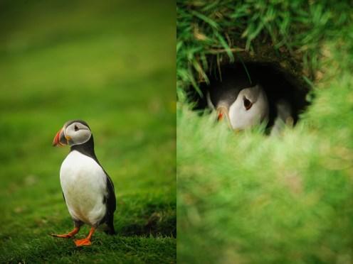 Links: Puffin am rumwatscheln - Rechts: Die Vögel brüten in Höhlen, die sie auch gerne Kaninchen streitig machen.