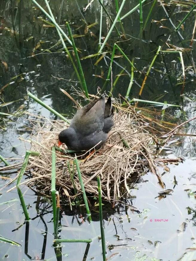 A bird in a nest hatching egg