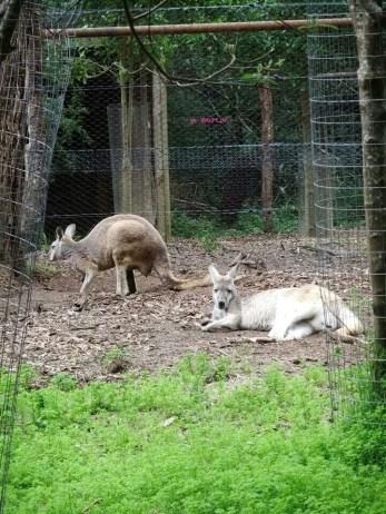 More species of Kangaroo
