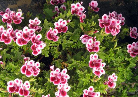 天竺葵的藥用價值與功效_那花園花卉網(nahuayuan.com):花卉第一網站!愛花人的花園!