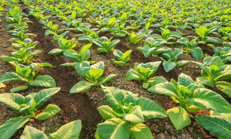 tobacco-plants-l
