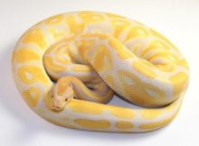 Gucci Snake!!! See World' s Expensive Snake That goes for 14 Million Naira (Photos) 24 Download