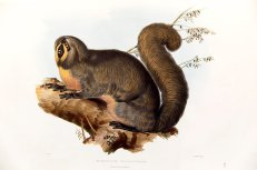 Edward Lear - Natural History Illustration