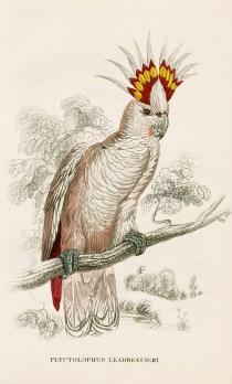 Edward Lear - Plyctolophus leadbeatieri