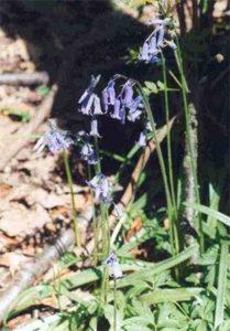 bluebells in Towerhouse wood