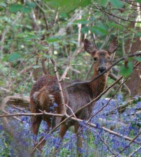 Roe Deer in the Wood (photograph by Vanessa Palmer) Deer can reduce the ability of coppiced trees to regenerate by eating young shoots.