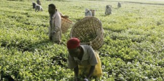 Nigeria to Boost Cotton and Soya beans production