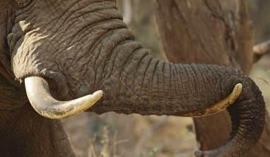 Singapore Seizes Nigerian Cargo of Elephant Tusks