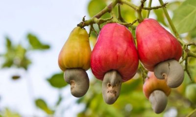 Nigeria suffers rejection of 37,000 cashews by Vietnamese buyers