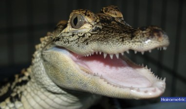 FG Breaks its Vow as Crocodile Smile Causes Apprehension