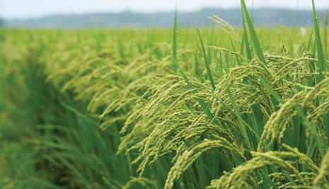 Nigeria now produces 15million Tonnes of local rice