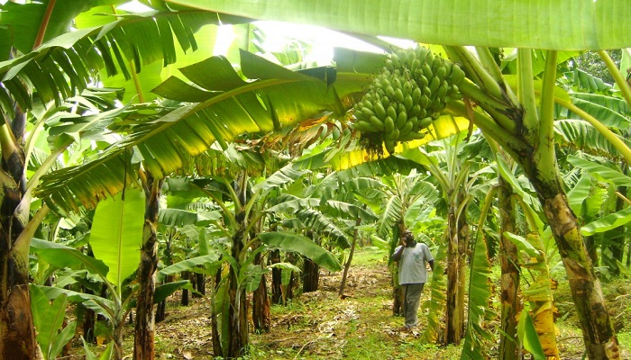 Consider These For A Winning Business Plan For Plantain Farming