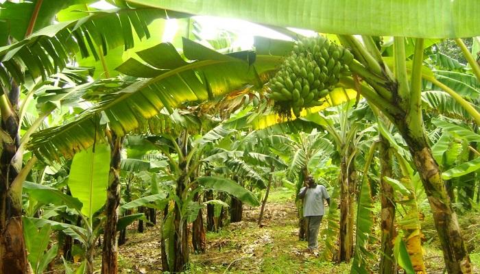 A Sample Plantain Farming Business Plan Template