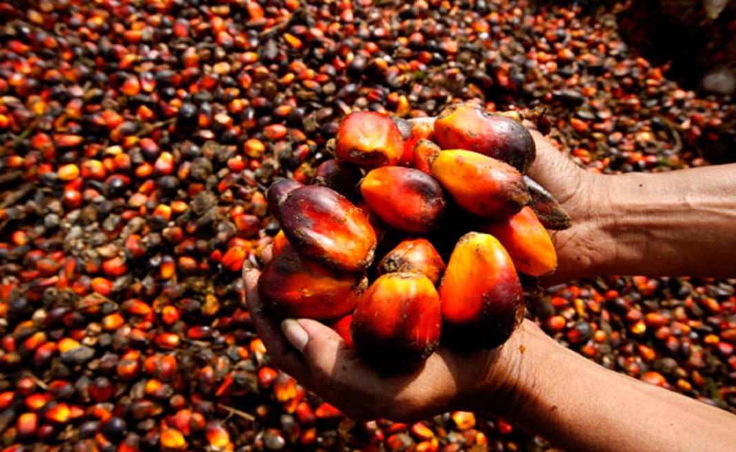 Palm Fruit Plantation And Palm Oil Production