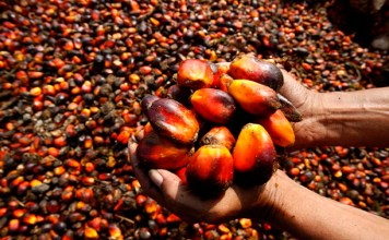 Palm Fruit Plantation And Palm Oil Production