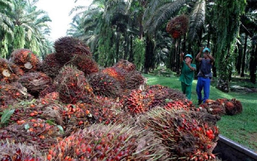 Okomu Oil profit drops by 57% at half year 2019