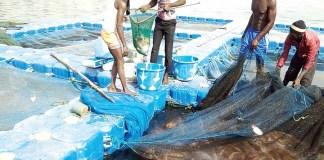 Nigeria is losingbillions of nairatolack offishfarming – NFAN
