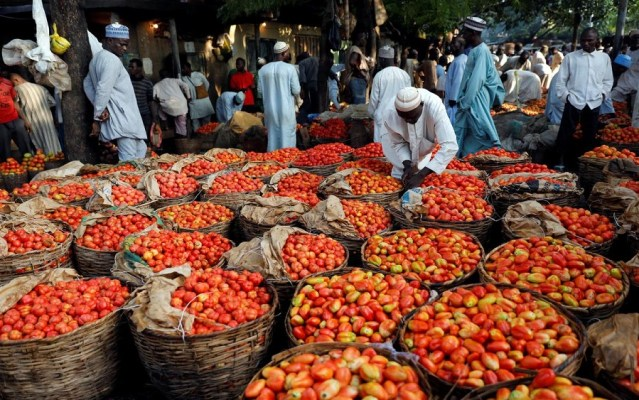Fear among tomato farmers as Dangote Farms suspends seedlings distribution
