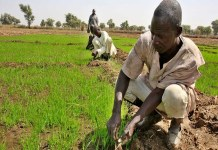 Border Closure: Nigerian rice farmers are struggling to feed a rice-hungry nation