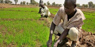 Border Closure: Nigerian rice farmers are struggling to feed a rice-hungry nation. CBN to give Niger Delta rice farmers single-digit loan