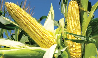 Corn Prices Plunge to Six Week Low, Concerns Strengthens on Grain Glut