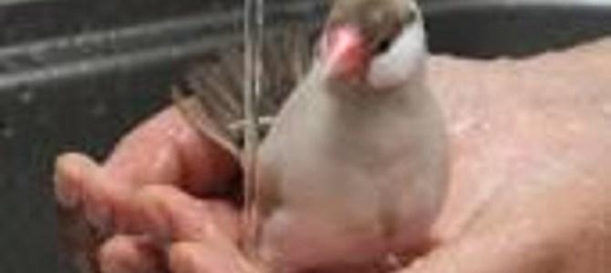 飼い主の手の中で水浴びをする小鳥が超楽しそう!