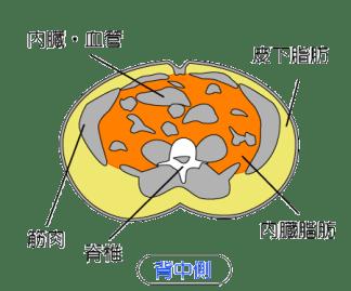 皮下脂肪と内臓脂肪