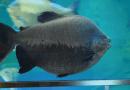 Terungkap!! Ikan Bawal dan Pacu itu Sama? Kok Bisa?