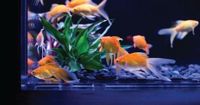 Tankmate ikan Koki yang cocok