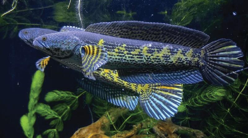 7 Jenis ikan Channa Gabus dan harga di tahun 2021