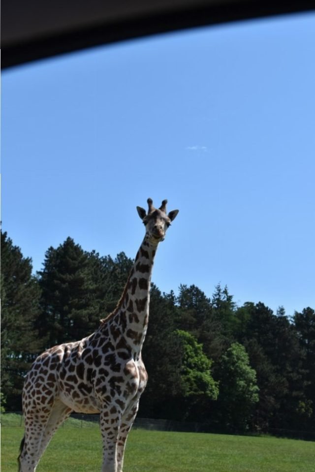 one of the many girafs you will pass by. These guys are not shy and they will try and steal your food so be careful.