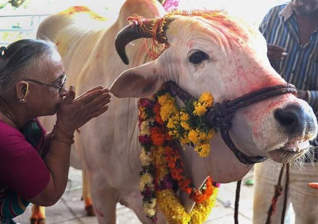antisemitism-india-cow