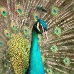 a dança do pavão