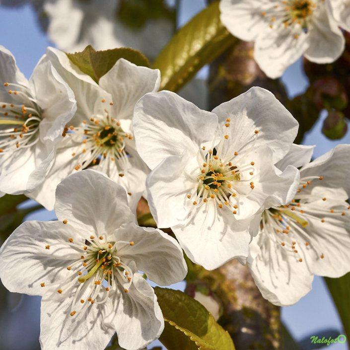 Fleurs de pommiers dans le jardin de Kernalo