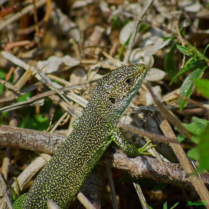 Lacerta bilineata : le lézard vert occidental, dans le jardin de Kernalo