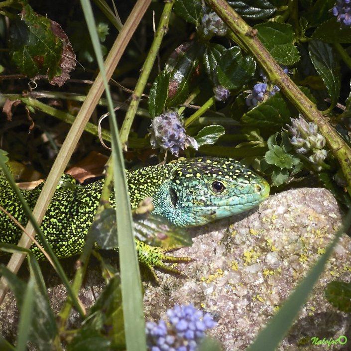 Lézard vert mâle dans le jardin de Kernalo