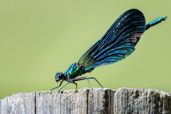 Petite libellule bleu