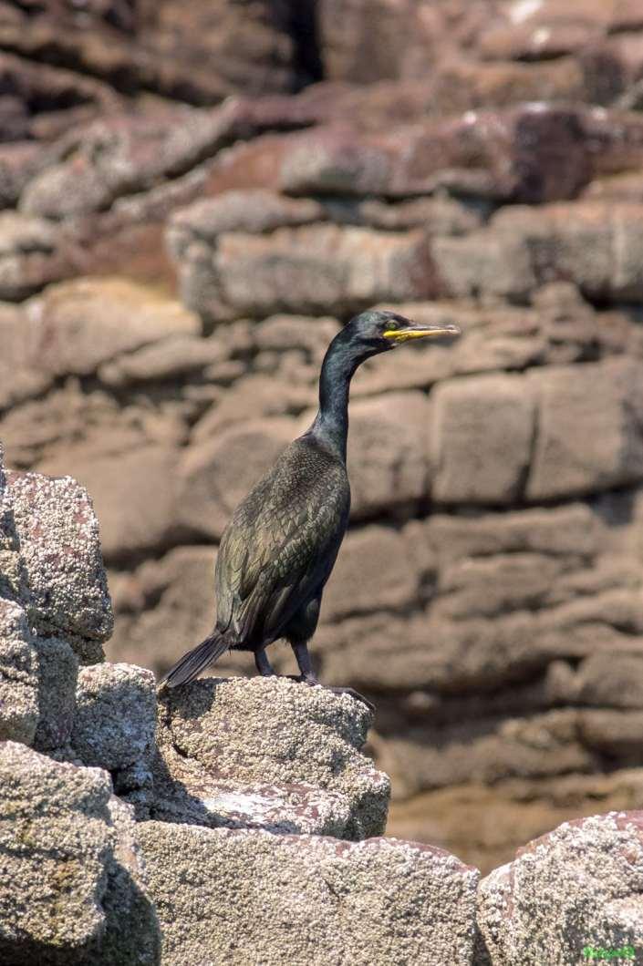 Jeune cormoran huppé