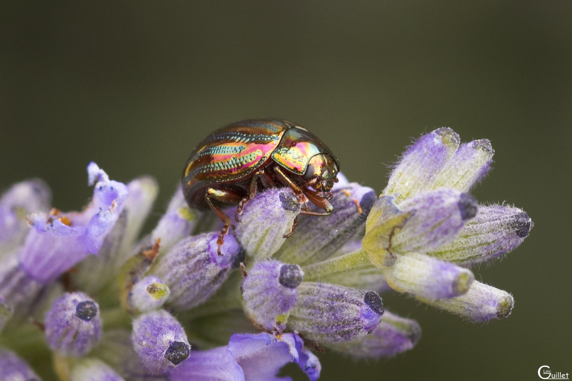 Petit coléoptères
