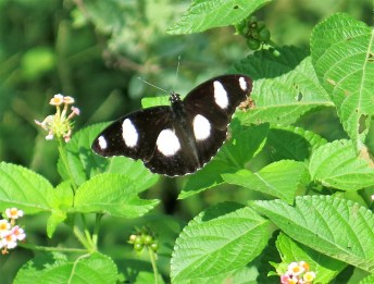 Danaid Eggfly (Male). One of 18 butterflies spotted on the walk