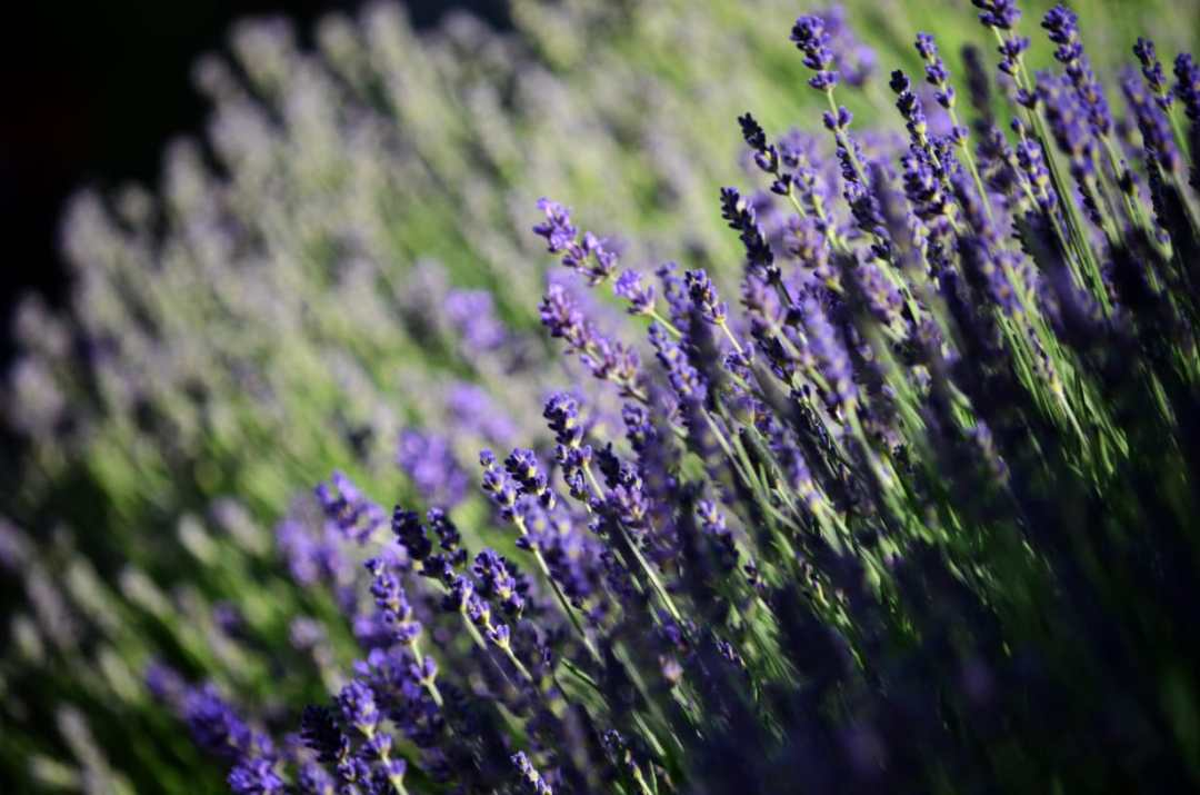 Lavender Swaying in the breeze
