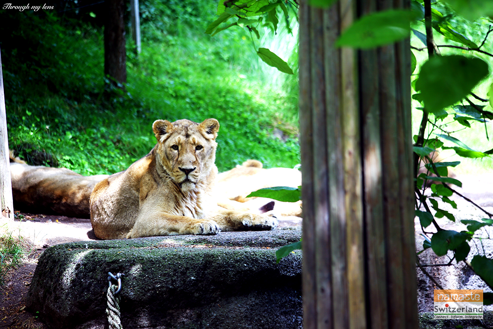 The Majestic look of the Lioness