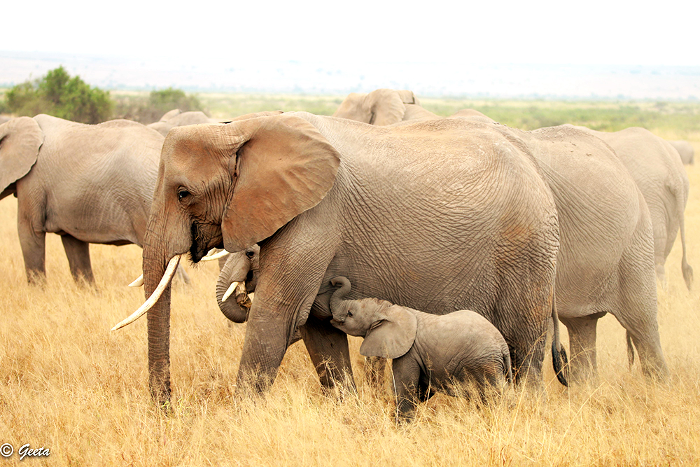 Photo of an Elephant cow feeding her calf – a rare sight