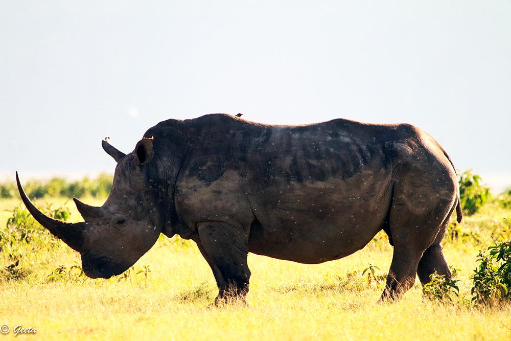 Photo of Rhino on its morning walk